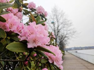 Spring Blossoms on the New West Boardwalk
